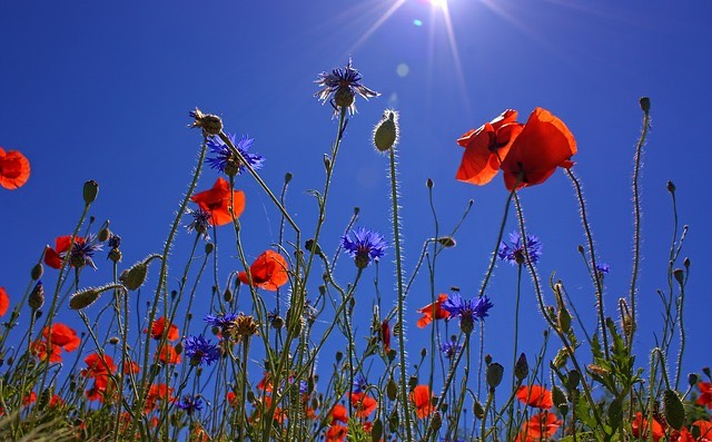 Nature-Poppy-Flower-Red-Summer-Field-Of-Poppies-807871